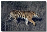 bengal-tiger-qe-024-web-copy