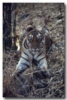 bengal-tiger-qe-042-web-copy