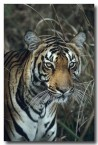 bengal-tiger-qe-044-web-copy