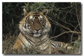 bengal-tiger-qe-048-web-copy
