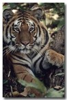 bengal-tiger-qe-050-web-copy