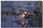 black-fronted-dotterel-pc-231-copy