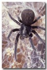 black-house-spider-pp-943-copy