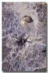 black-house-spider-pp-946-copy