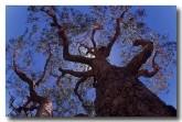 bloodwood-tb-546-copy