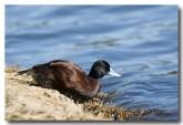blue-billed-duck-lld-110