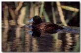 blue-billed-duck-xa-490-copy