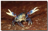 blue-lamington-spiny-cray-aw-766