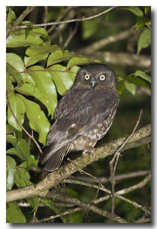 Southern Boobok Owl