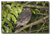 boobook-owl-llf-775-web-copy