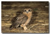 boobook-owl-lm-853-web-copy