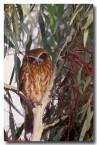 boobook-owl-yg-169-web-copy