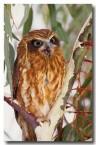 boobook-owl-yg-172-web-copy