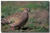 bronzewing-sa-854-copy