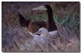 brown-booby-vs-105-copy