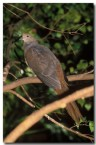 brown-cuckoo-dove-la-472-copy