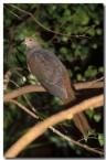 brown-cuckoo-dove-la-472-copy