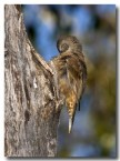 brown-tree-creeper-abd-236-web-copy