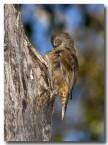 brown-tree-creeper-abd-236-web-copy