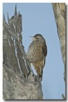 brown-tree-creeper-llg-794-web-copy