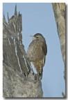 brown-tree-creeper-llg-794-web-copy