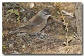 brown-tree-creeper-llg-795-web-copy