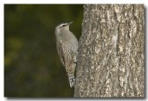 brown-tree-creeper-llg-798-web-copy