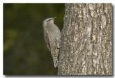 brown-tree-creeper-llg-798-web-copy
