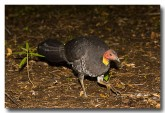 brush-turkey-aad-379-web-copy
