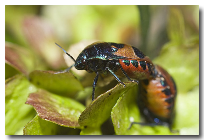 Ground Jewel Bug