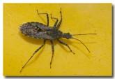 bug-lake-logue-lle-796-copy