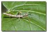 bug-slender-sundown-llg-228-web-copy