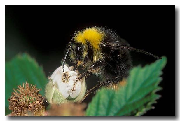 (ZL-026) A Bumblebee