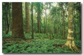bunya-pines-forest-aw-844-copy