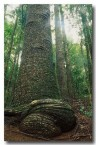 bunya-pines-forest-aw-851-copy