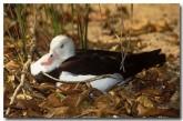 burdekin-duck-lo-099-copy