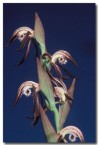 burnettia-nigricans-red-beaks-orchid-fx-354-copy