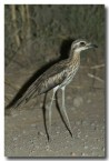 bush-stone-curlew-llg-883-web-copy