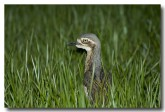 bush-stone-curlew-llg-884-web-copy