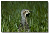 bush-stone-curlew-llg-885-web-copy