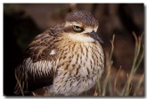 bush-stone-curlew-pm-427-copy