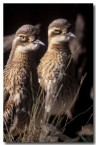 bush-stone-curlew-pm-441-copy