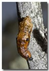butterfly-pupae-dragon-rocks-abd-489-web-copy