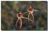 caladenia-cairnsiana-zebra-orchid-xc-608-copy