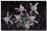 caladenia-dorrienii-cossack-spider-orchid-xc-601-copy