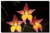 caladenia-flava-x-caladenia-sp-cowslip-orchid-hybrid-ak-174-copy