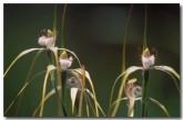 caladenia-longicauda-ssp-clivicola-hills-white-spider-orchid-ln-376-copy