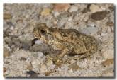 cane-toad-juvenile-lle-529-copy