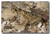 cane-toad-juvenile-lle-532-copy