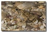 cane-toad-juvenile-lle-533-copy